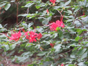 A Plumleaf Azalea, one of Callaway Gardens' signature flowers.