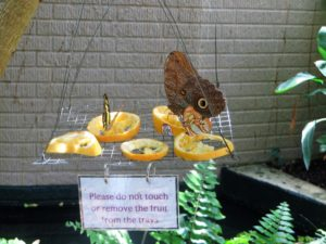 Butterflies feasting on fruit at the Cecil B. Day Butterfly Center.